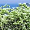 純白の花「ヒトツバタゴ」が見頃…対馬