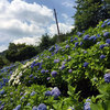 2016年6月の「みやがせ花の日」に行ってきたよ:アジサイと百日草と向日葵