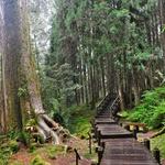 巨木に惹かれて「巨木群桟道」をひたすら歩く!! ~in「阿里山国家森林遊楽区」