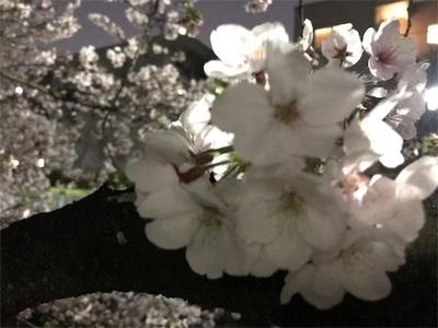 神田川ランニング〜夜桜の花びらヒラリヒラリ〜