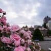 バラの花も見頃を過ぎて