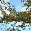 紅葉始まる。2019年11月3日までに撮影したデジカメ写真です。ギンモクセイと思っていた花が違いました