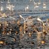 餌場へと飛び立つ白鳥たちⅡ