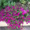 猛暑と花(3)
