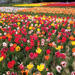 《千葉匝瑳市》そうさチューリップ祭り2021