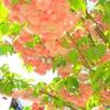 上野公園・最後の桜たち(牡丹桜)