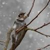 日本 雪の中のツグミ