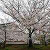 【囲碁】【写真】私の実戦と桜の写真