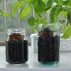 サトイモを観葉植物としてガラス瓶を使って水耕栽培してみる(里芋・ハイドロカルチャー)