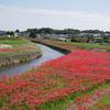 矢勝川堤のヒガンバナ