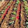 ジャガイモの芽かき、土寄せ! 五つ葉のクローバー♡
