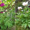 芍薬と牡丹