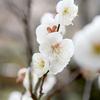 梅を撮影しに河内長野の観心寺へ。関西花の寺25ヵ所霊場
