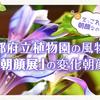 えっこれが朝顔?京都府立植物園の夏の風物詩「朝顔展」の変化朝顔