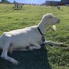 広大な牧草地で羊やヤギとふれあえる「まきば公園」