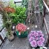 門松用の植木