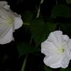 夕顔の開花