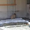 スイカ早食い競争中のカピバラののんびりさがかわいい(in いしかわ動物園)
