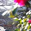 江ノ電 龍口寺の薮椿