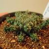 タコモノユーフォルビア Euphorbia atroviridis を育て始めた。
