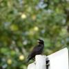 【旅の写真】香港で見た野鳥-ハッカチョウ