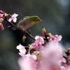 河津桜とメジロ 2015 3月