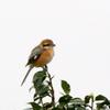 雨の中の北新田の鳥たち(モズ・チュウヒ・コサギ・アオサギ・ココガモ・オオバン)