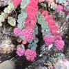 石垣の多肉植物
