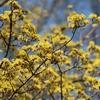 こんな時には花でも愛でましょう〜昭和記念公園の河津桜、山野草など