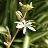 オリヅルランの花 2014
