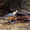 小春日和の水場を飛びたつヤマガラ