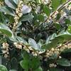 ハマヒサカキの雌雄の花