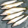 相模川の「アユ釣り」解禁 遡上数は半減、でもサイズは大きめ!