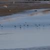 オオダイサギのいる湖面に下りるタゲリの群れ