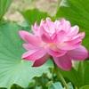 はすの花公園 宮地やすらぎの里【久米郡久米南町】ハスの花の見頃は早朝!見ごたえあります!!