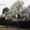 シデコブシ,コブシ Magnolia stellata ,Magnolia Kobus
