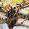 川崎市幸区の無料動物園『夢見ヶ崎動物公園』でレッサーパンダに癒やされてきた【2019.4.7】