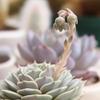 エケべリア属の花芽、途中経過