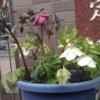 冬の店頭のお花