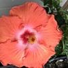 大輪ハイビスカスの再開花、ガーベラ、コバルトセージ、チョウマメの花