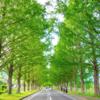 【滋賀の絶景】フォトジェニックな観光地「メタセコイア並木」の行き方・楽しみ方・写真まとめ