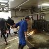 MUN(乳中尿素態窒素)と、乳牛の健康