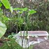 9/22 夏オクラ植えてみました。 42日目