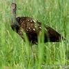 中米ベリーズ 湿地の Limpkin (リンプキン)