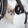 ウチ猫シラスの雪体験
