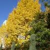イチョウの黄葉と「永遠にゼロ」と大津地裁決定