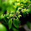 キヤノンLレンズの比較ニシキギの花