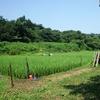 2015年猛暑の田んぼの様子
