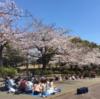 2019年 鹿沼公園 さくら 満開です (4月4日)!