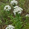 ハマナデシコの白花~突然現れて群生